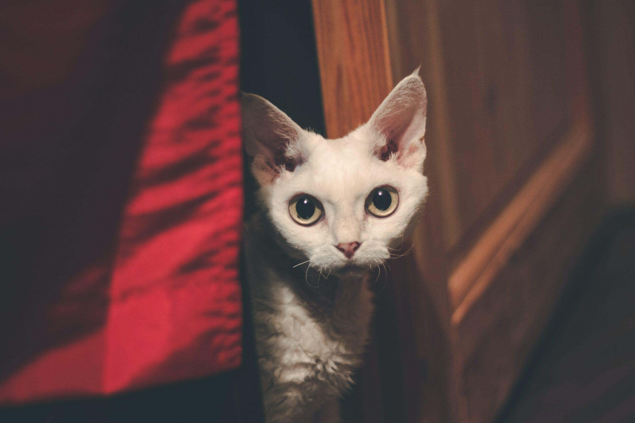 Devon Rex race de chat